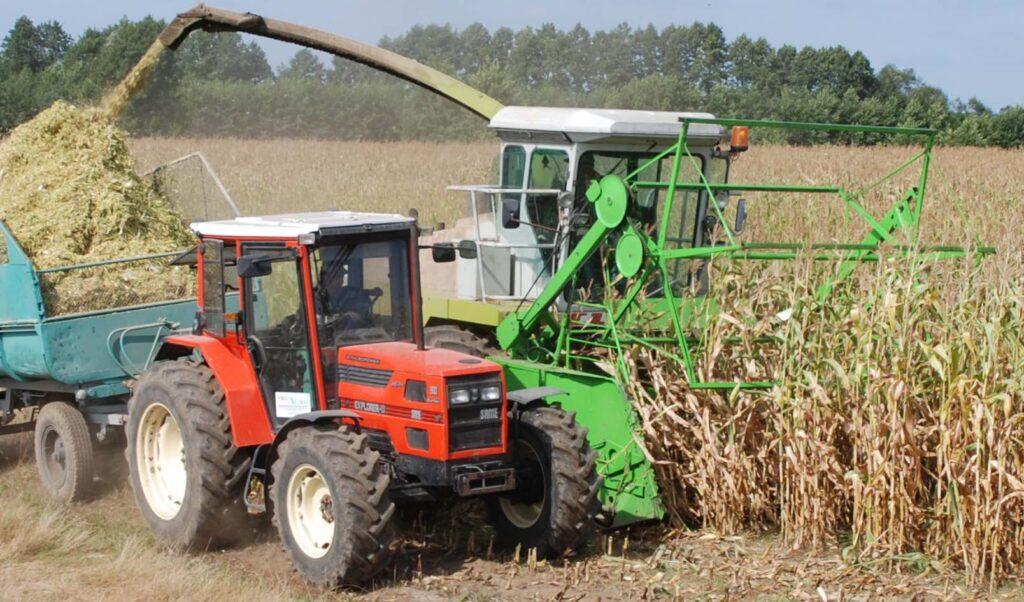Najlepsze odmiany kukurydzy na kiszonkę